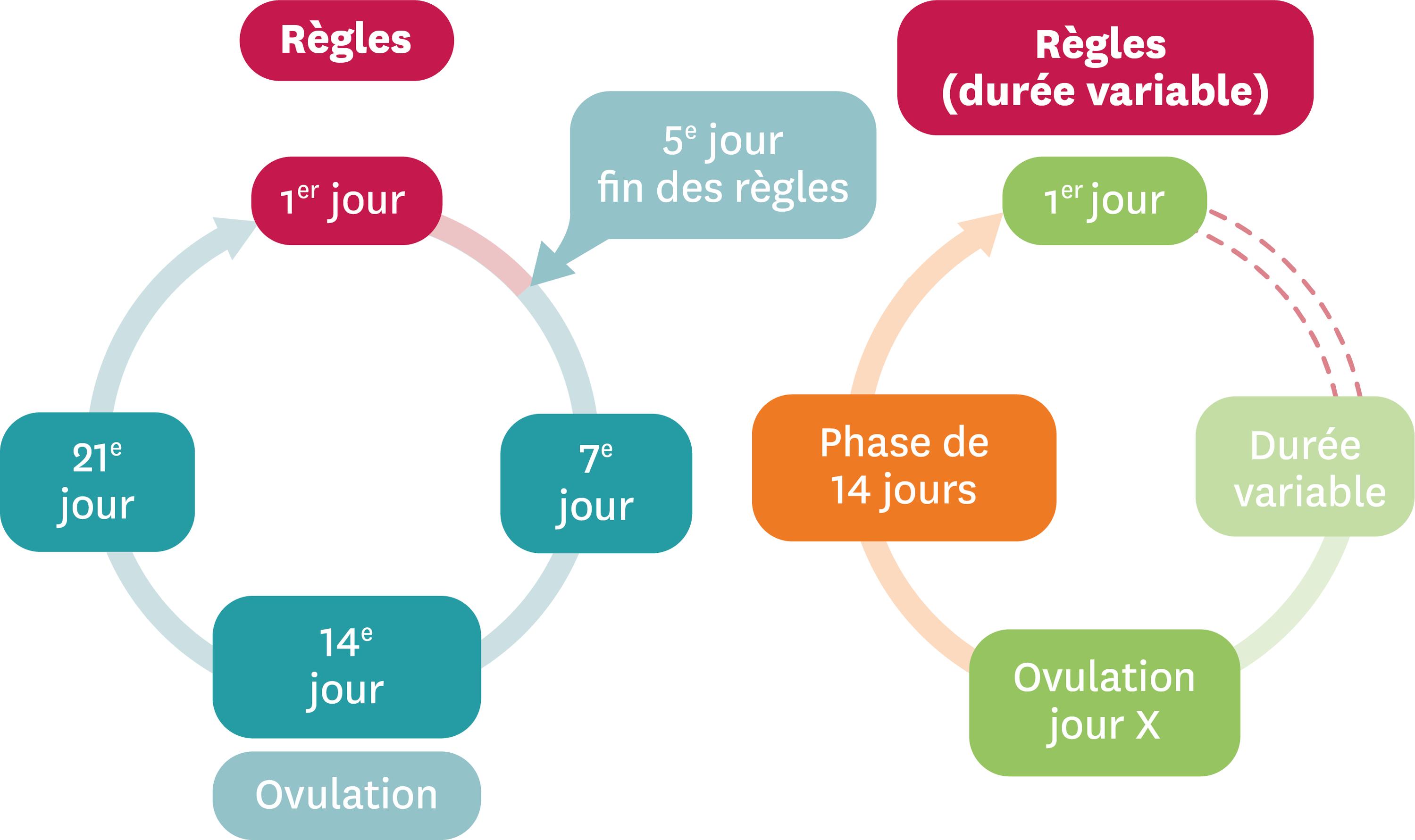 Les durées d'un cycle féminin.