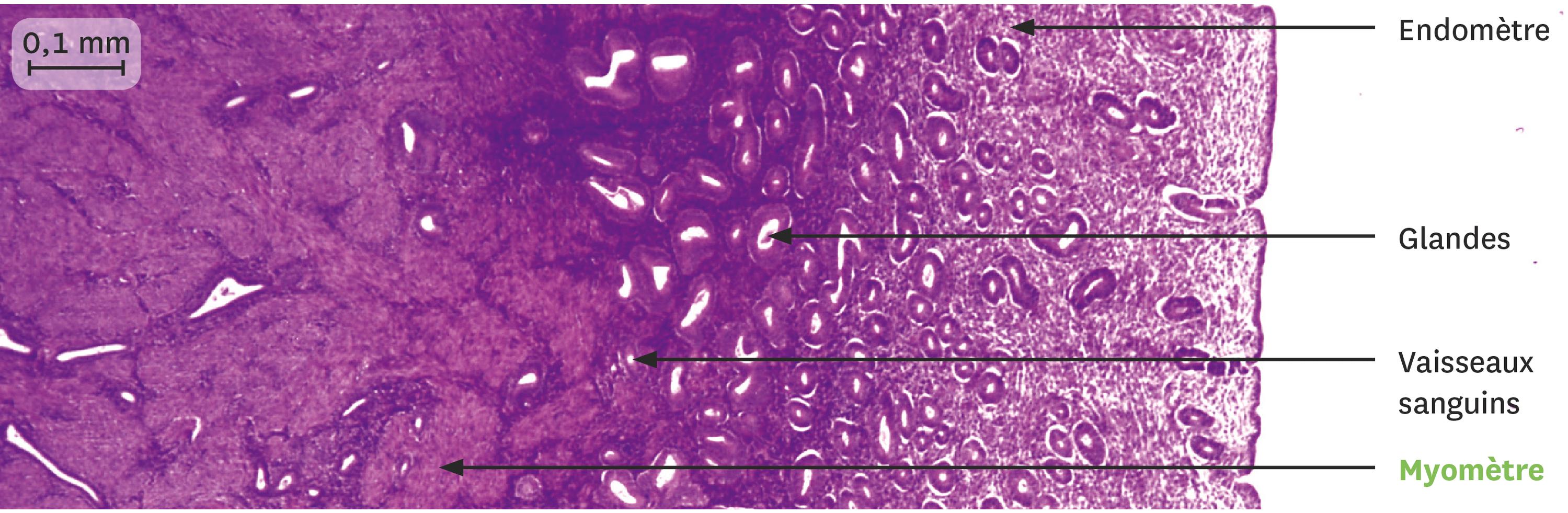 Une coupe de la muqueuse utérine juste après les règles observée au microscope optique.