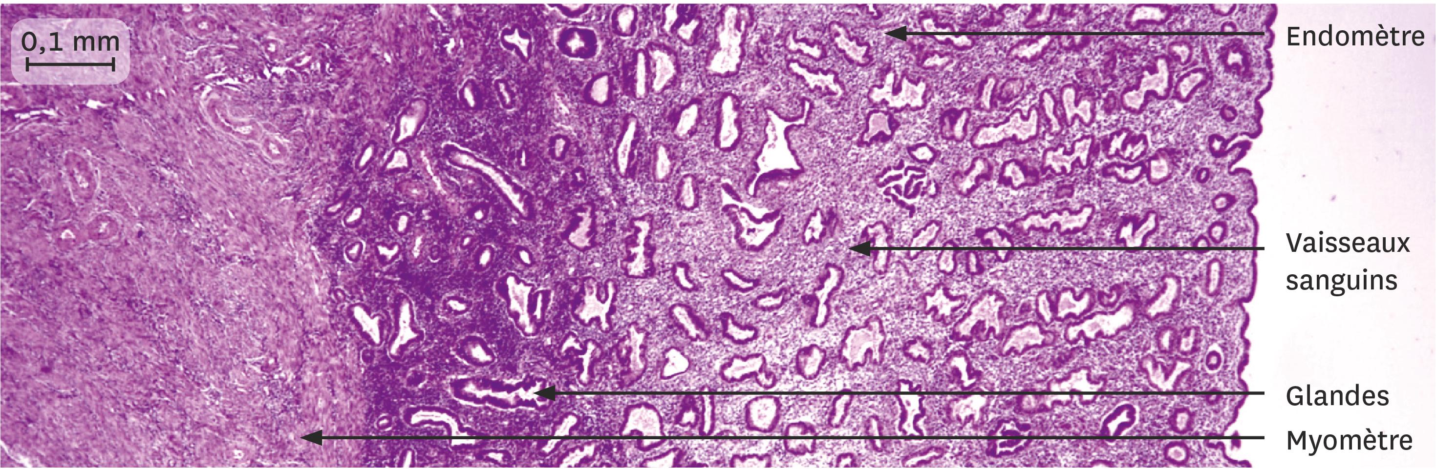 Une coupe de la muqueuse utérine 10 jours après les règles observée au microscope optique.