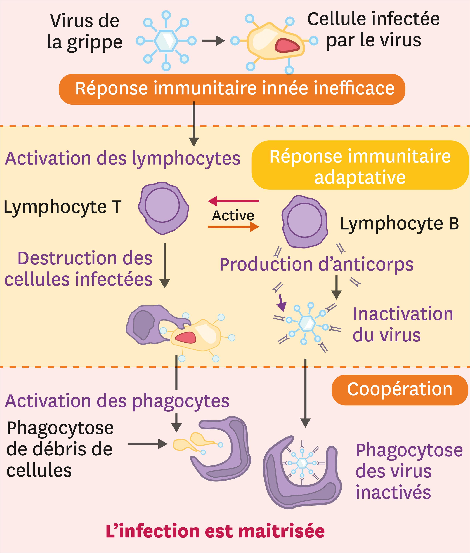 La coopération entre les acteurs du système immunitaire.