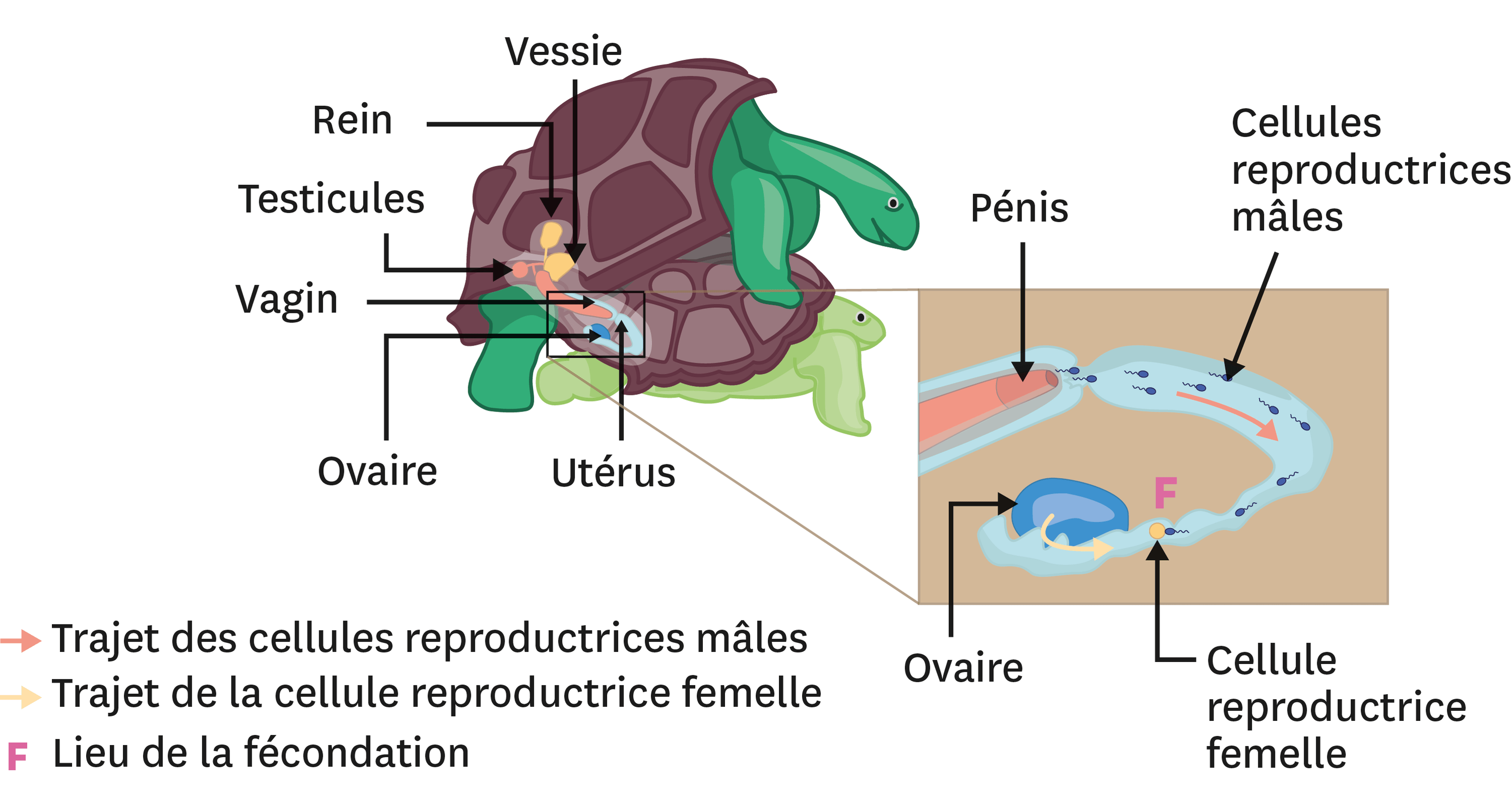 Accouplement et fécondation interne chez les tortues.
