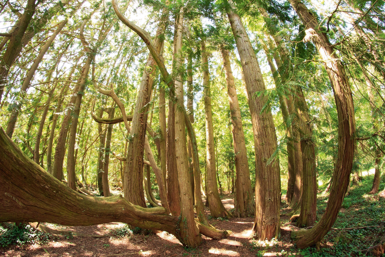 Un bosquet de Thuyas.