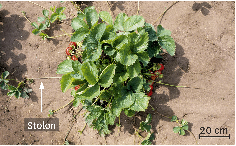 Marcottage naturel de fraisiers à partirde stolons.