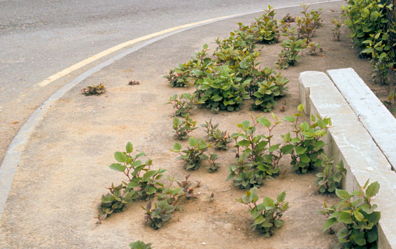 De jeunes plants de Renouée du Japon traversant le macadam.