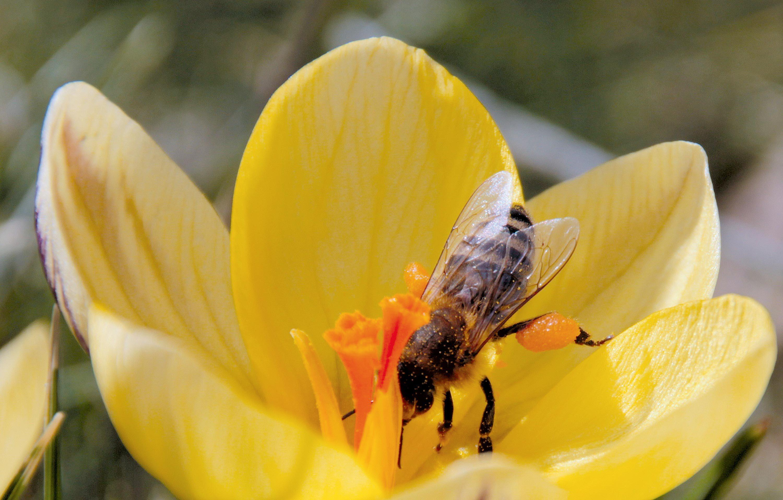 Pollinisation par une abeille.