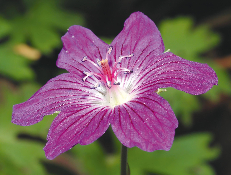 La fleur de géranium.