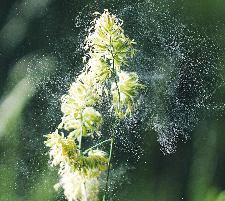 Dispersion du pollen par le vent.