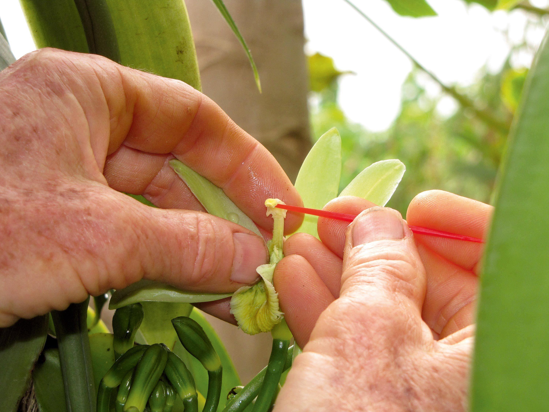 La pollinisation manuelle de l'orchidée Vanilla planifol.