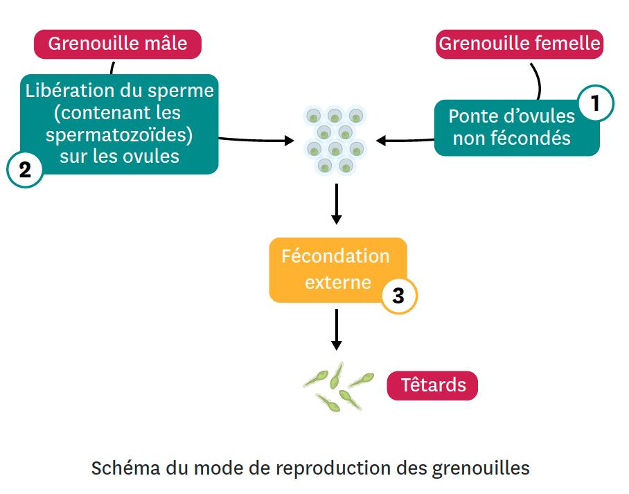 Schéma du mode de reproduction des grenouilles.