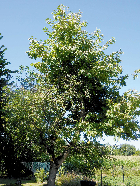 Un arbre greffé.