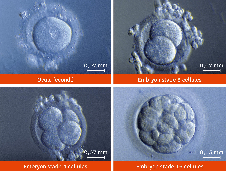 Les premiers stades du développement d'un embryon vus au microscope optique.