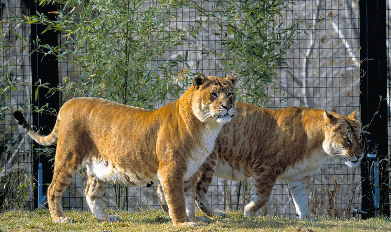 Deux tigrons dans un zoo.