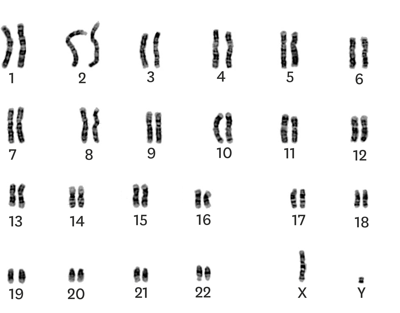 Le caryotype d'un zèbre mâle de Grévy.