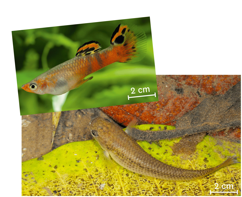 Un guppy (en haut) et son prédateur, un rivulus (en bas).