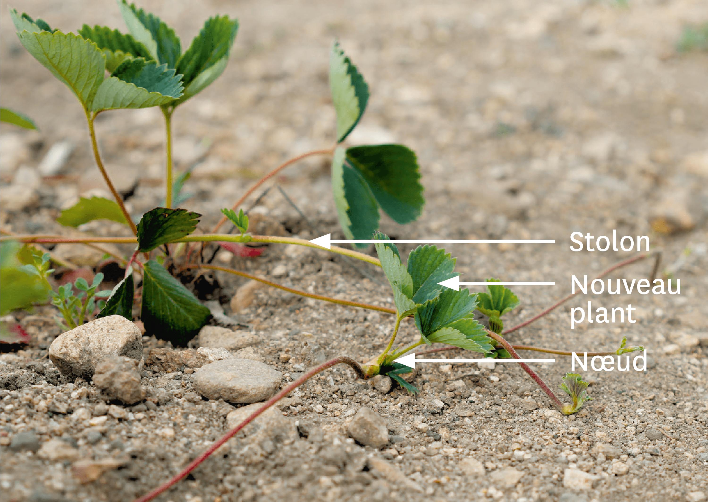 Des stolons sur un plant de fraisier.