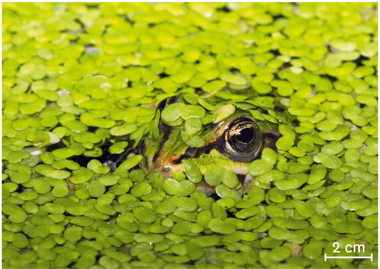 Une grenouille dissimulée sous des lentilles d'eau.