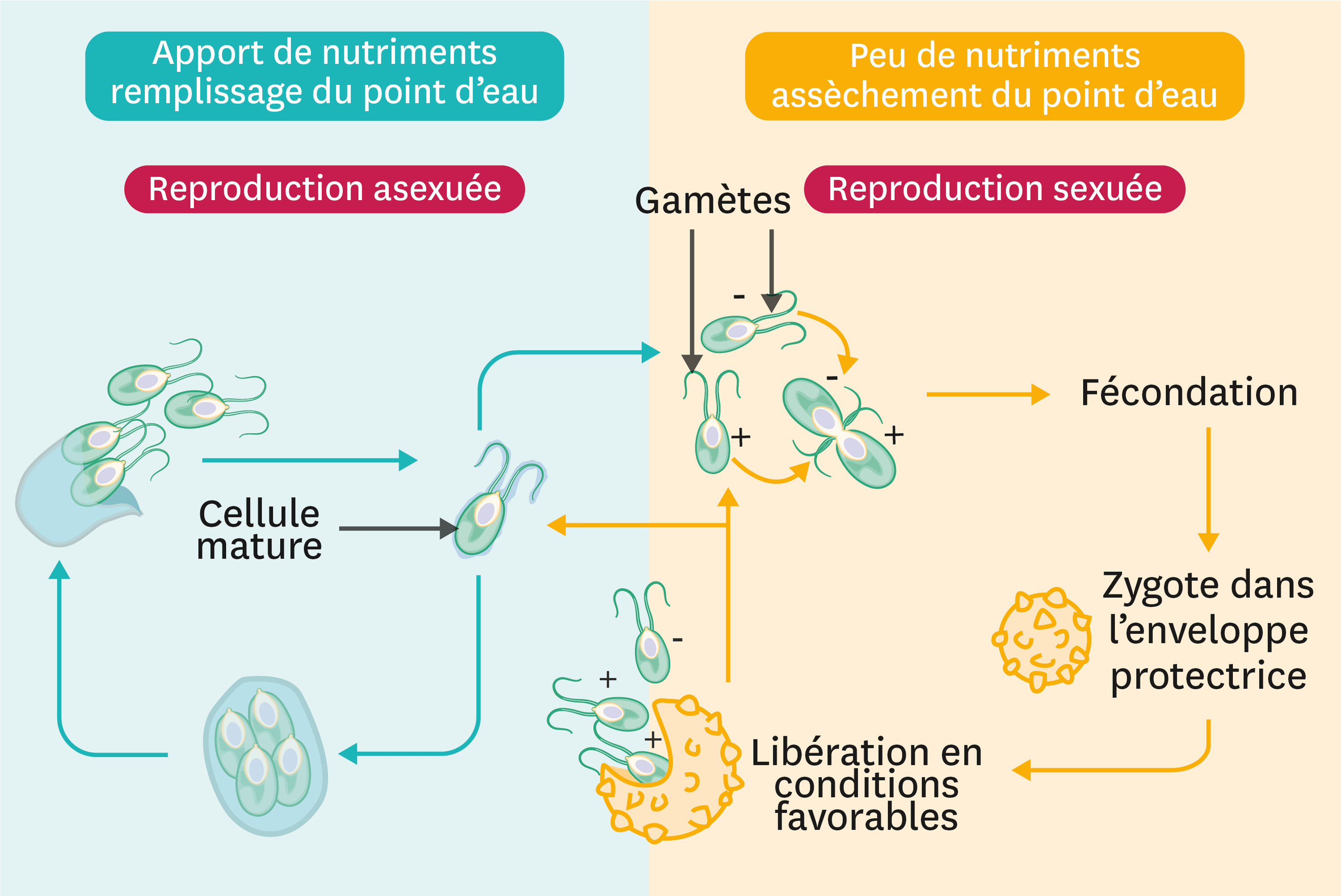 Le cycle de vie de chlamydomonas.