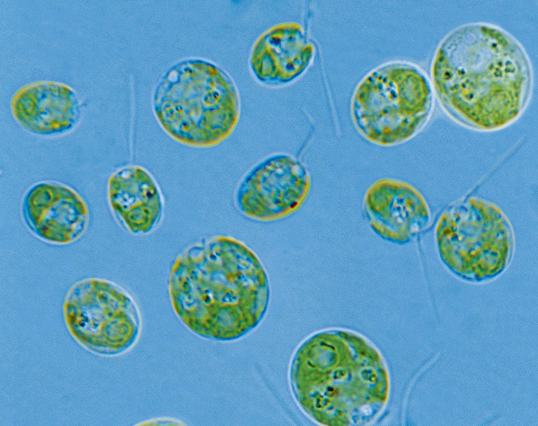 Chlamydomonas observée au microscope optique.