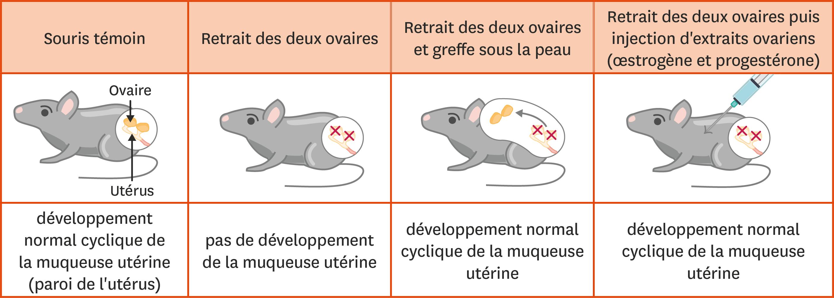 Des expériences sur le contrôle du fonctionnement de l'appareil génital chez la souris.