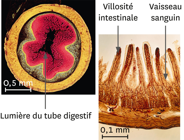 Une coupe transversale d'intestin grêle (à gauche) et son détail (à droite) au microscope optique (images colorisées).