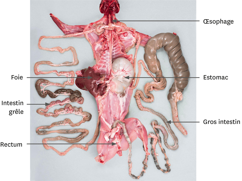 Une dissection de l'appareil digestif du lapin.