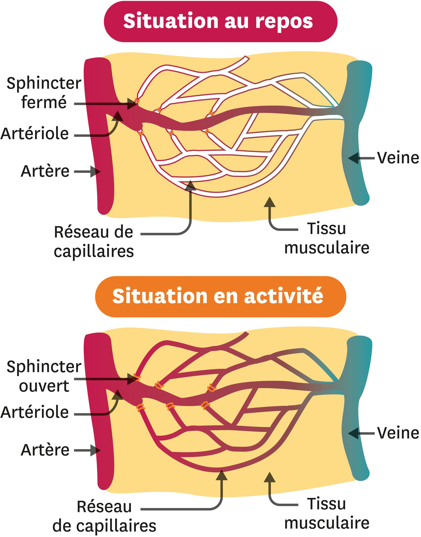 Le débit sanguin dans un muscle.