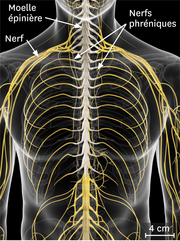 La relation entre le système nerveux et l'appareil respiratoire.