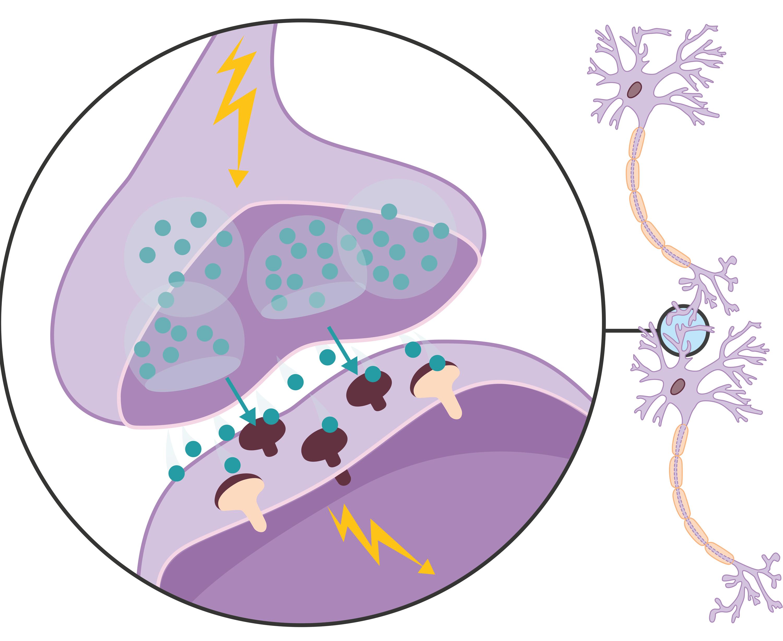 Une synapse et la transmission du message entre deux cellules nerveuses.