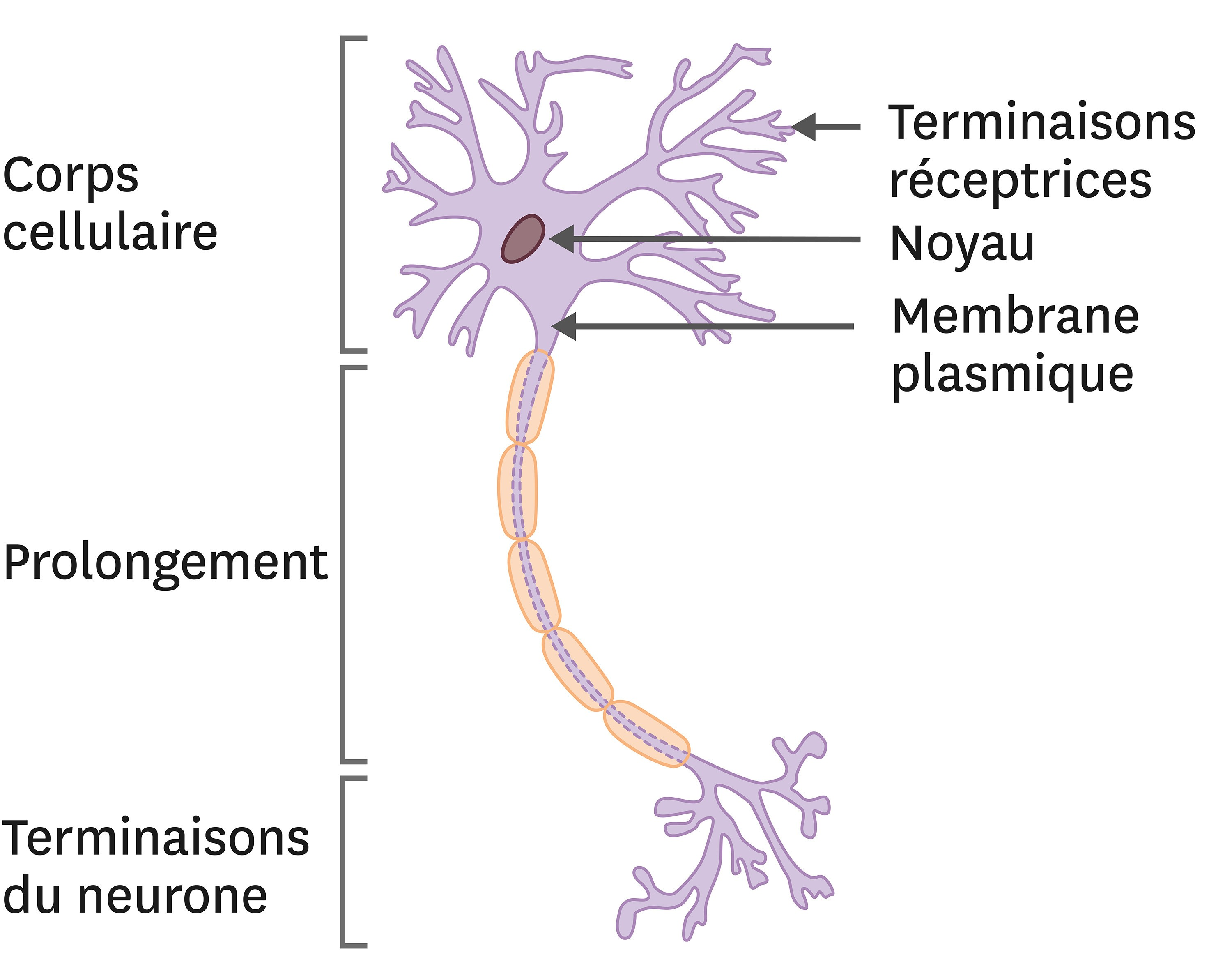 La morphologie d'un neurone.