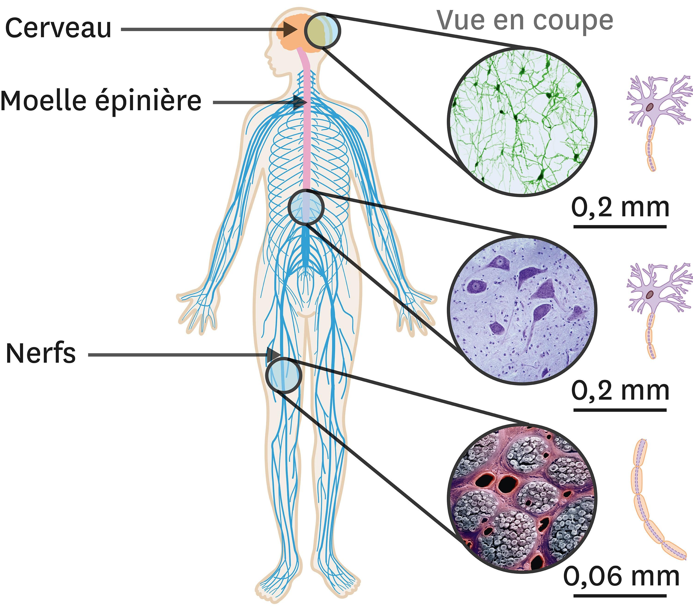 Les cellules nerveuses dans l'organisme.