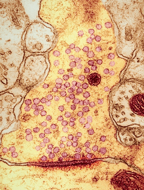 Une observation au microscope électronique d'une synapse.