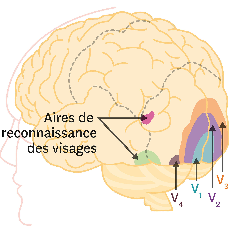 Les zones d'activation du cerveau lors de stimulations visuelles.