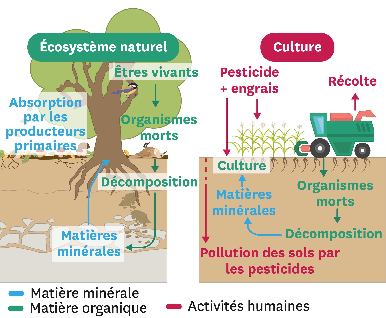 Comparaison des échanges de matière dans un écosystème naturel et dans une culture.