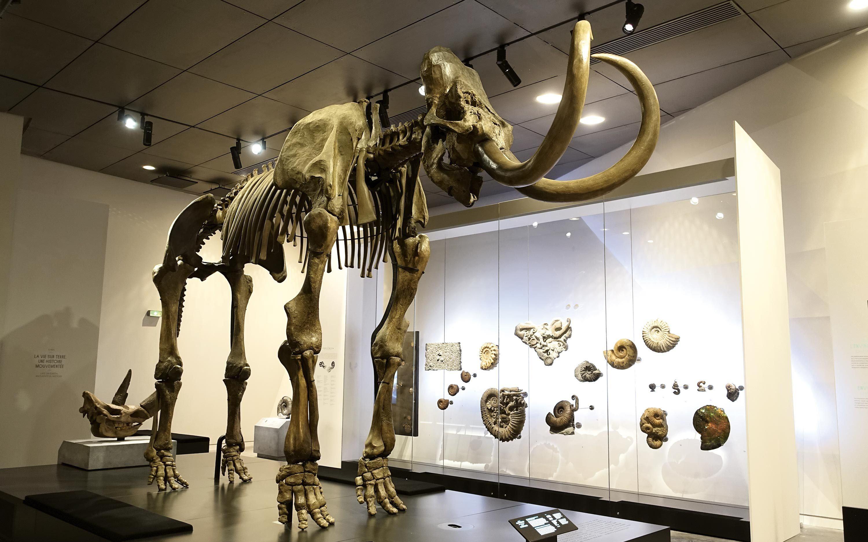 Un squelette de mammouth découvert à Lyon et exposé au musée des Confluences.