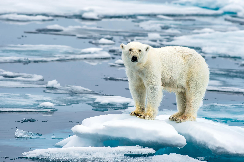 Un ours sur la banquise qui fond.