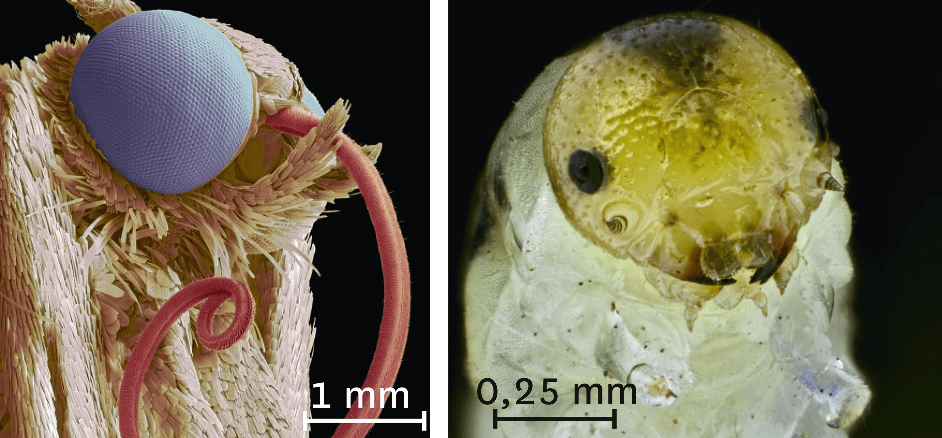 Les têtes d'un papillon et d'une chenille vues au microscope électronique à balayage.
