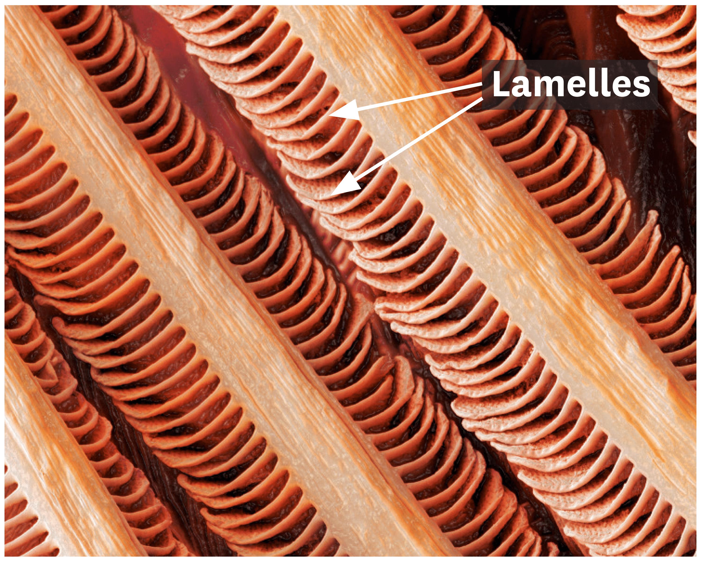 Une observation de branchies de truite au microscope électronique.