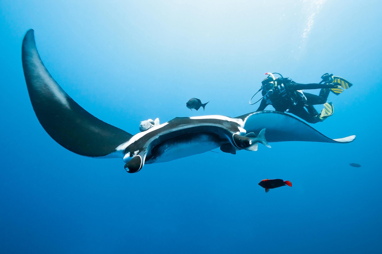 Une raie et un humain sous l'eau.