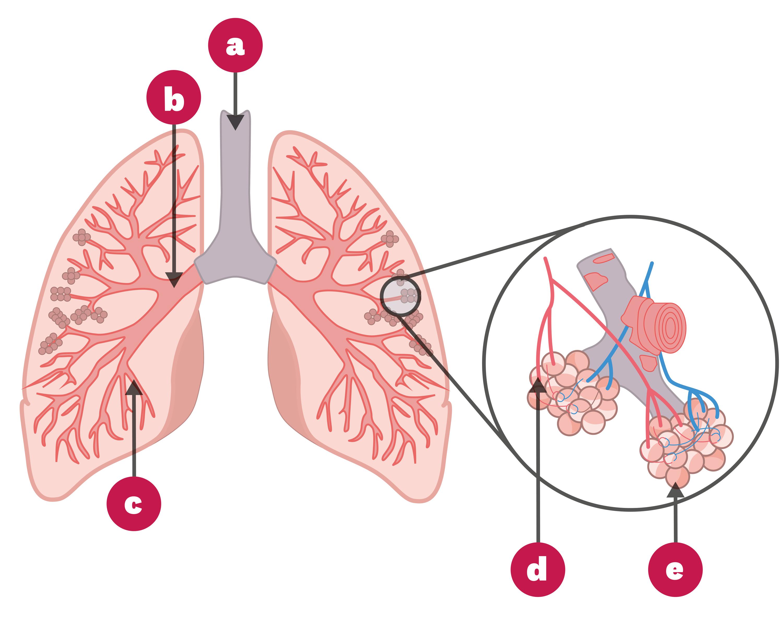 Schéma de l'appareil respiratoire humain.