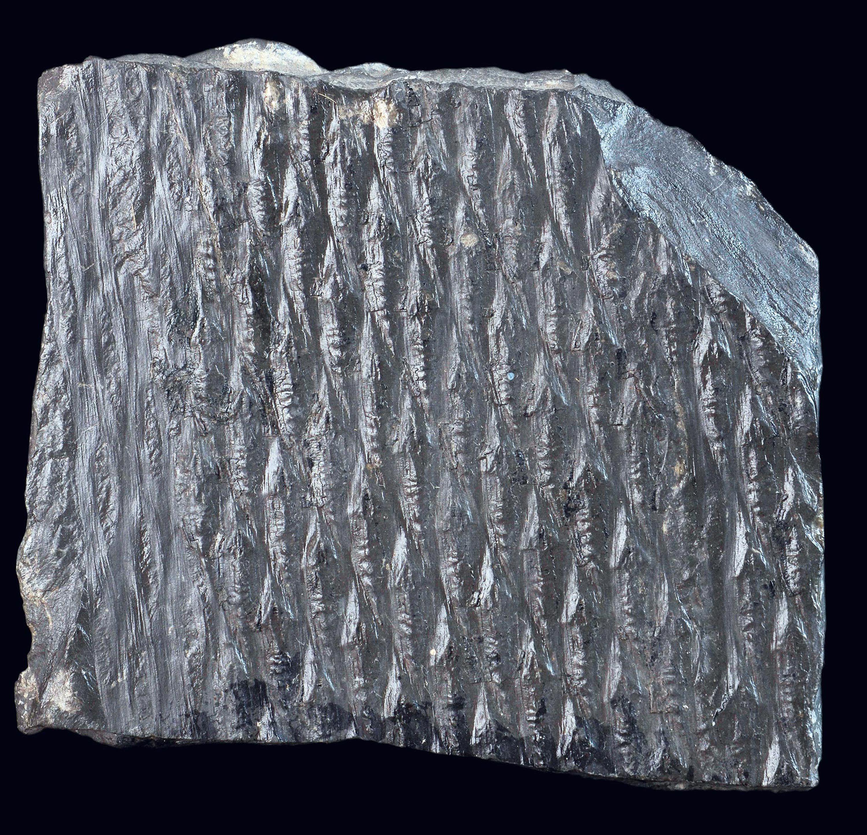 Un morceau de charbon contenant un fossile de lépidodendron (une fougère arborescente) daté du Carbonifère.