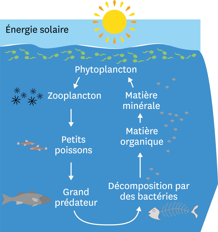 Le fonctionnement simplifié de l'écosystème océanique.