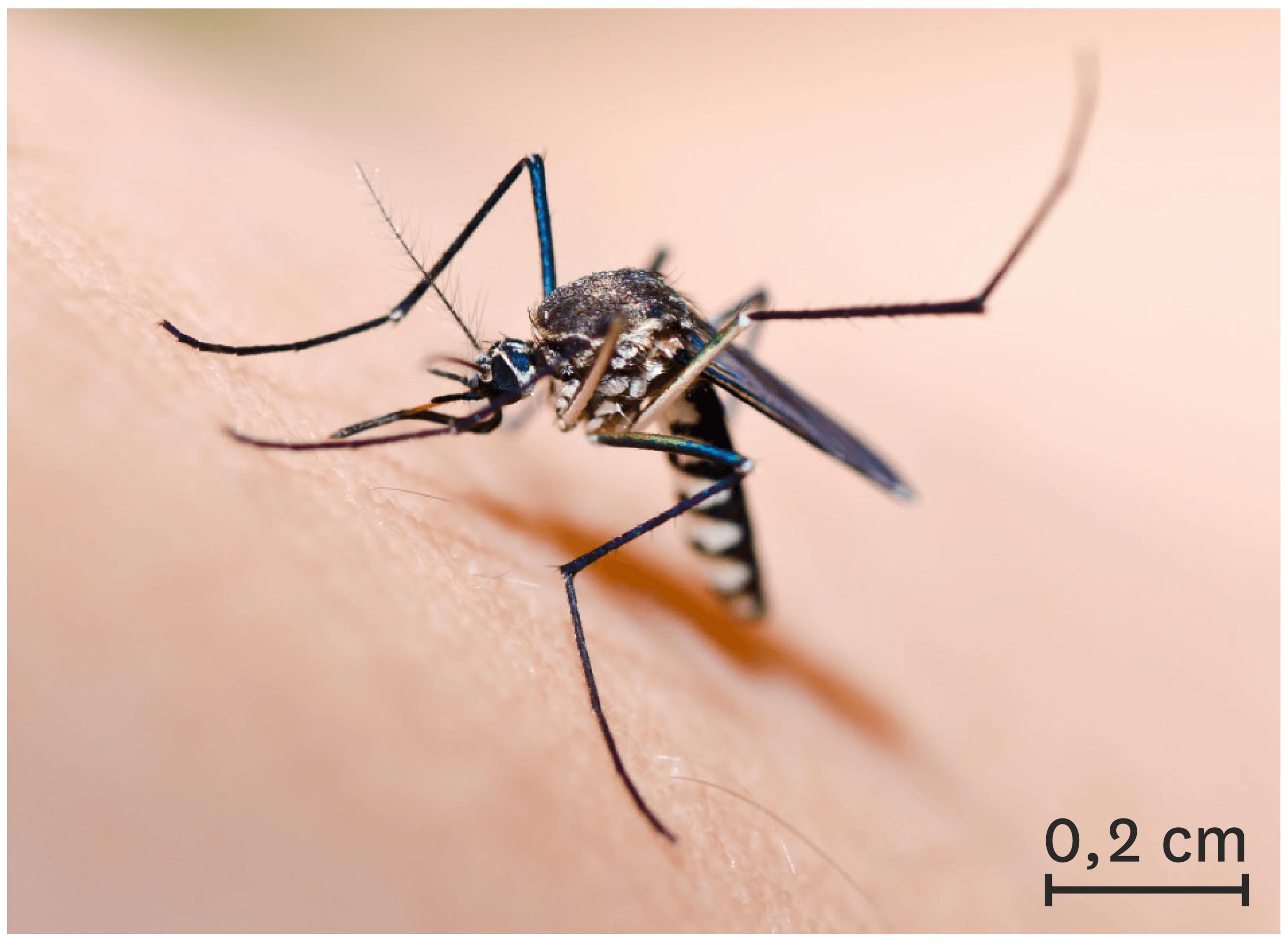 Le moustique tigre, une espèce invasive.