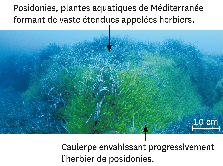 La caulerpe en Méditerranée.