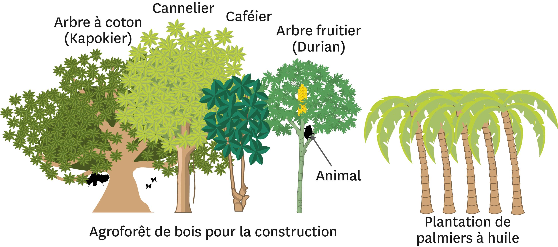 La comparaison d'une agroforêt et d'une plantation de palmiers en Indonésie.