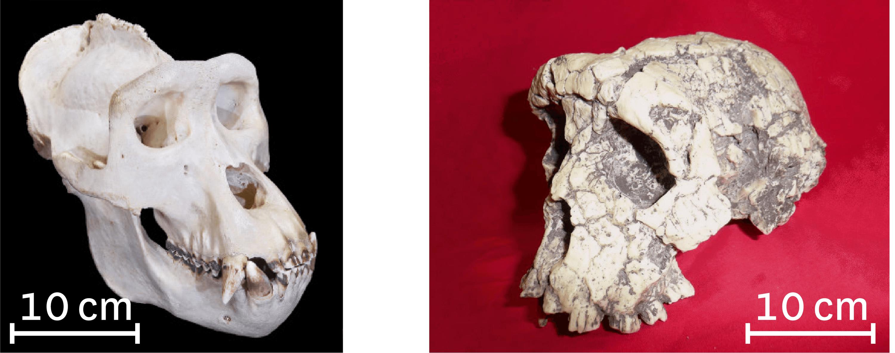 Comparaison du crâne d'un gorille (à gauche) et du crâne de Toumaï (à droite).
