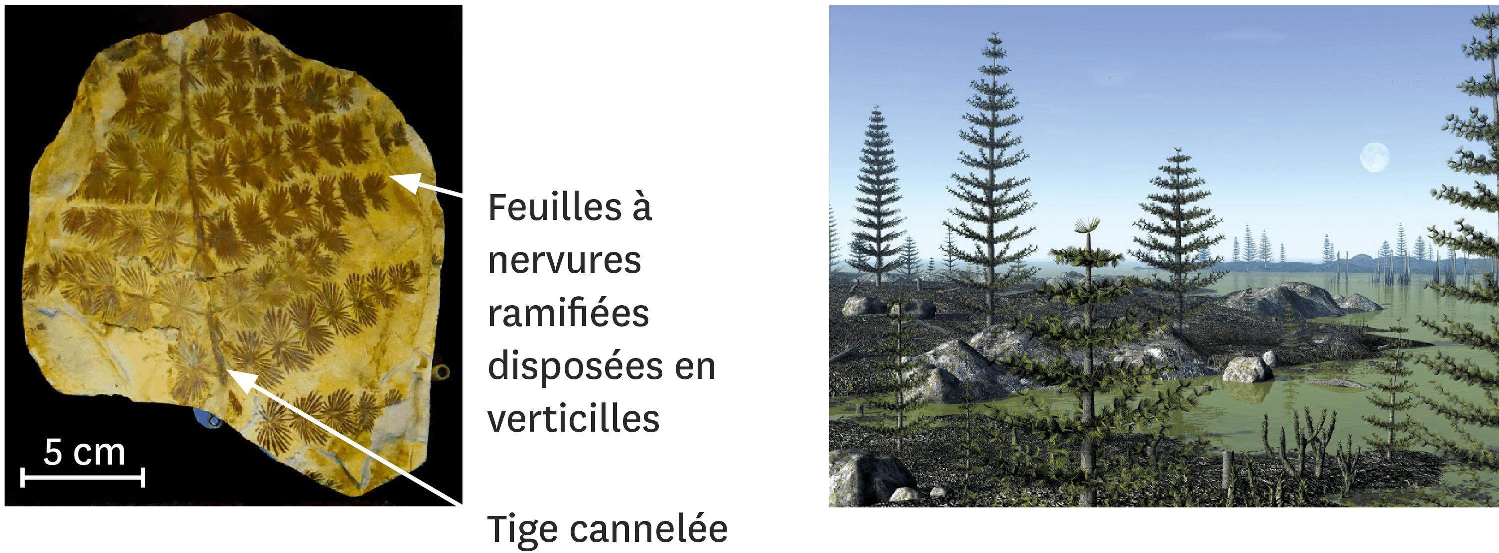 Un fossile de Calamites et une reconstitution artistique d'une forêt de Calamites.