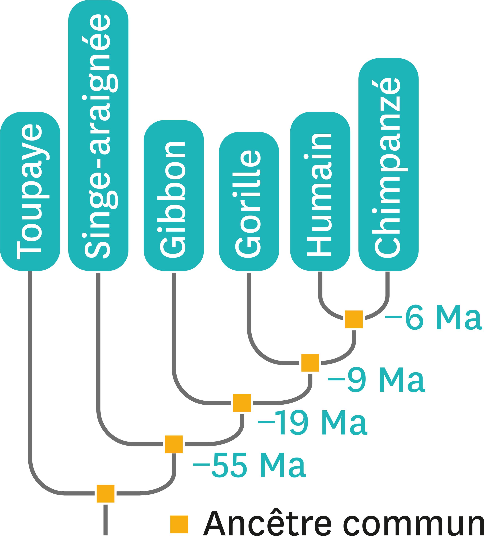 L'arbre de parenté de quelques espèces de primates.