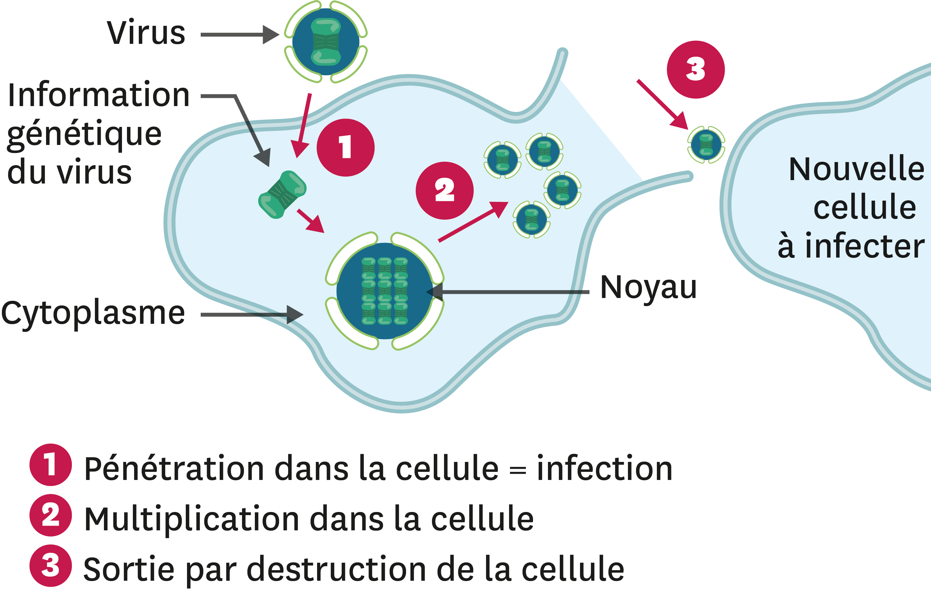 De la contamination à l'infection dans le cas d'un virus.