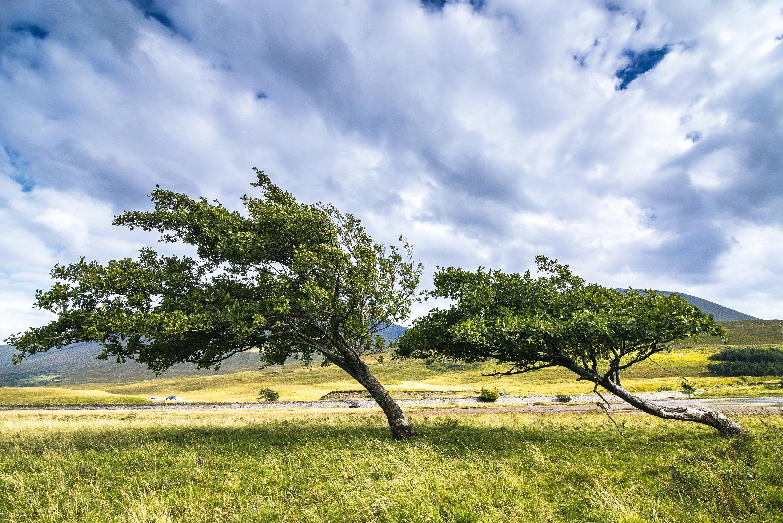 Des arbres d'une région ventée.