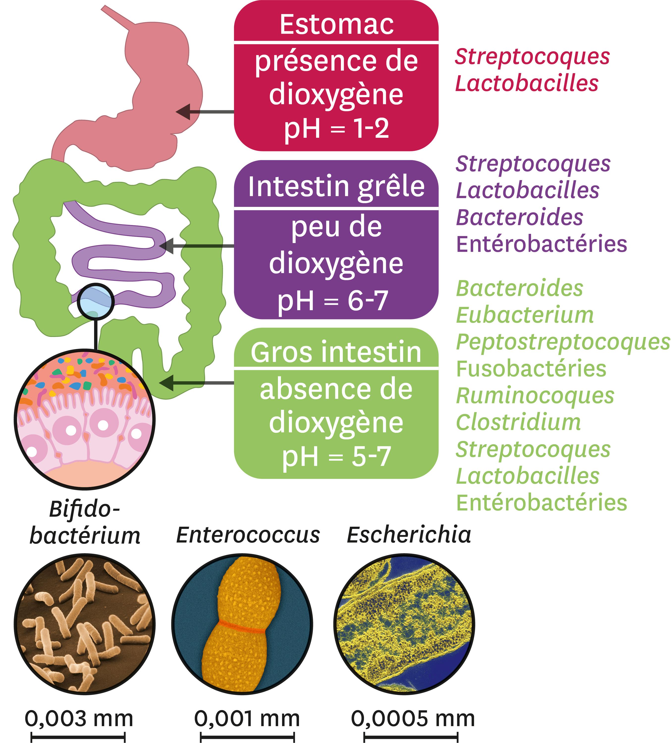 La diversité du microbiote le long du tube digestif.